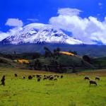 Cat #01-36-35Chimborazo volcano and sheep herd