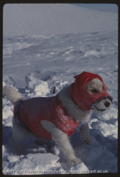 Bothy the Yorkshire terrier in coat and balaclava stands on snow
