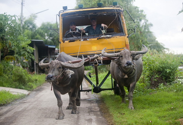 Around the world in 80 ways - water buffalo mounted truck